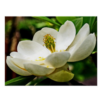 Magnolia Flower Close Up Poster