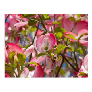 magnolia flower on tree postcard