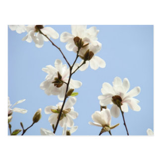 Magnolia Flowers postcards Blue Sky Magnolias Tree