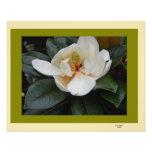 Magnolia in Bloom Photographic Print