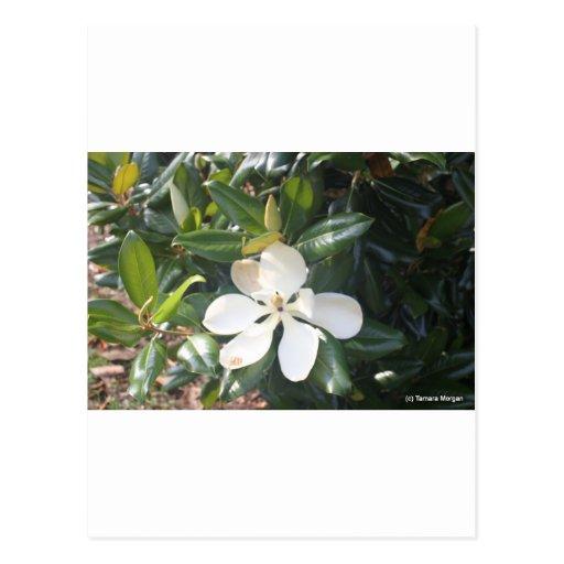 Magnolia meridional dulce de Georgia Postal