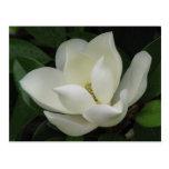 Magnolia meridional postal
