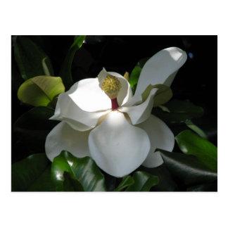 Magnolia meridional postales