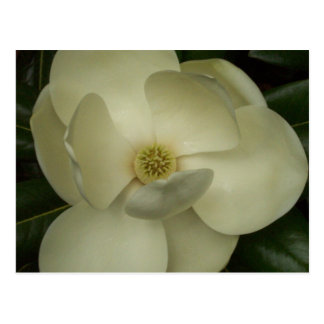 Magnolia Postales
