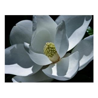 Magnolia - Postcard