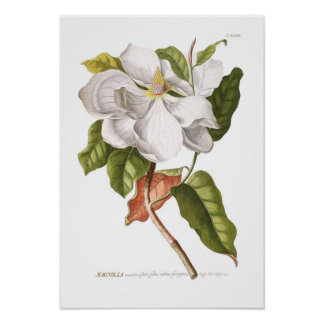 Magnolia. Póster