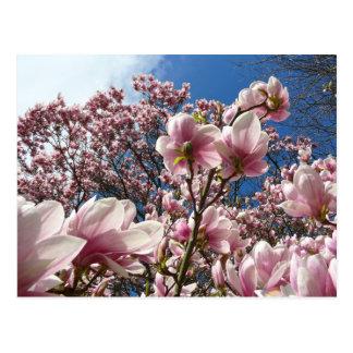 Magnolia salvaje (primavera, rosa, Tulpenbaum) Tarjeta Postal