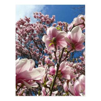 Magnolia salvaje (primavera, rosa, Tulpenbaum) Tarjetas Postales