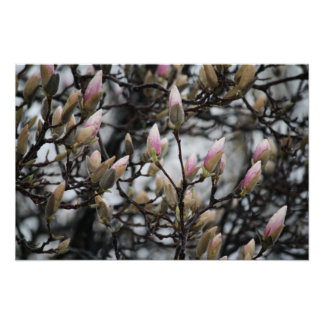 Magnolia Tree Buds in Spring before blossoms Poster