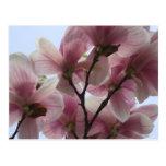 Magnolia Tree in Bloom Postcard