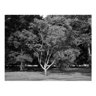 Magnolia Tree in Summer BW Postcard