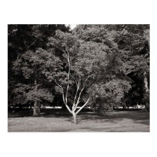 Magnolia Tree in Summer - Warm Tone  BW Postcard