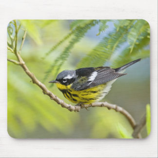 Magnolia Warbler Dendroica magnolia) adult, Mouse Pad