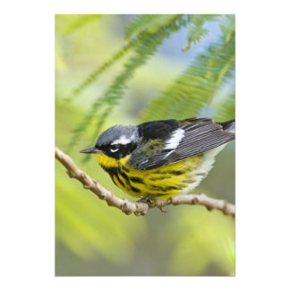 Magnolia Warbler Dendroica magnolia adult Photograph