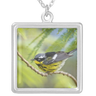 Magnolia Warbler Dendroica magnolia) adult, Silver Plated Necklace