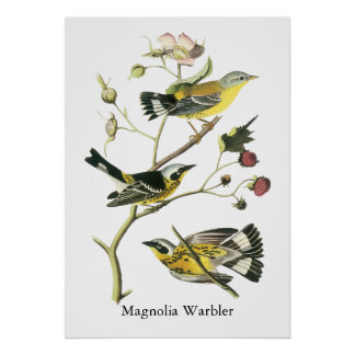 Magnolia Warbler, John Audubon Poster