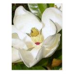 Magnolia White Postcard