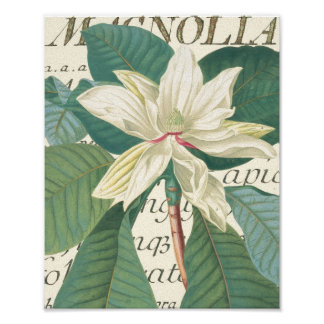 Magnolia with calligraphic detail poster