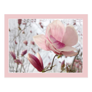 Magnolia With Pink Border Postcard