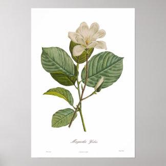 Magnolia yulan impresiones