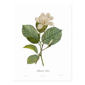 Magnolia yulan postales