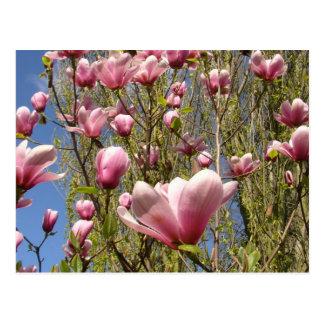 Magnolias en la floración tarjetas postales
