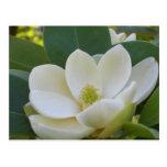 Magnolias meridionales de CricketDiane Postal
