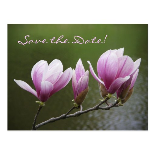 Magnolias, Save the Date! Postcard