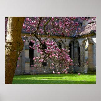 Magnolien purple Weis flowering at the tree, monas Poster