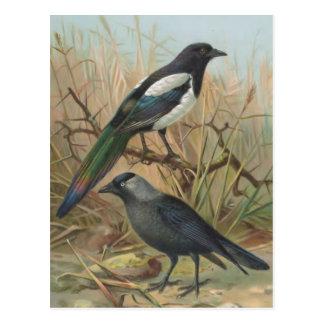 Magpie and Jackdaw Vintage Bird Illustration Postcard