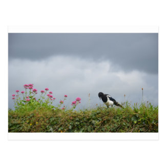 Magpie and wild flowers. post cards