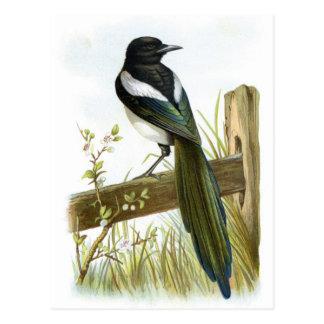 Magpie Postcard