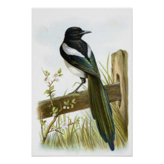 Magpie Posters