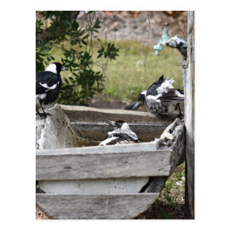 MAGPIES BATHING IN WATER RURAL AUSTRALIA POSTCARD