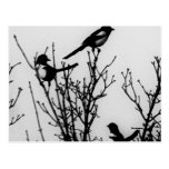 Magpies in Holland Postcards