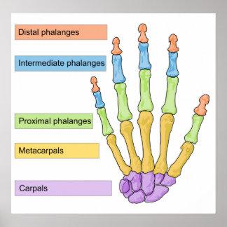 Main Bone Division Chart  of the Right Human Hand Print