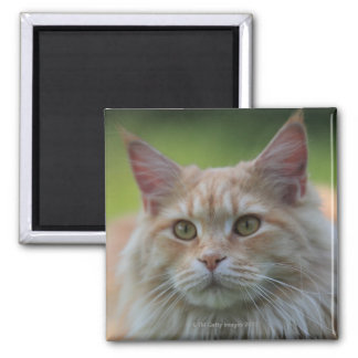 Main coon cat 2 inch square magnet