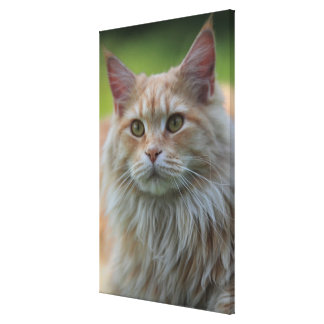 Main coon cat stretched canvas print