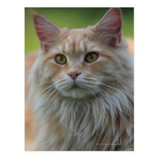 Main coon cat postcard