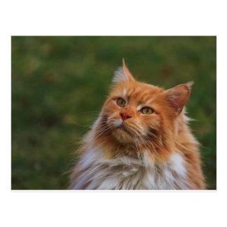MainCoon Katze Postcard