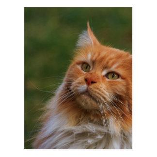 MainCoon Katze Post Card
