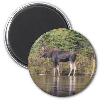 Maine Bull Moose Magnet