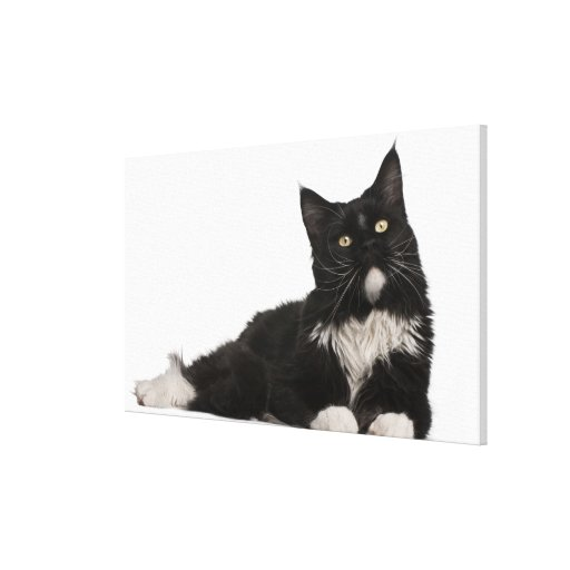 Maine Coon (15 months old) Canvas Print