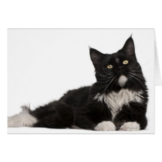 Maine Coon (15 months old) Greeting Cards