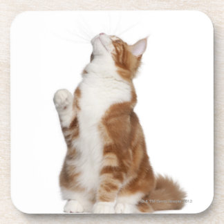 Maine Coon (6 months old) sitting and looking up Drink Coaster
