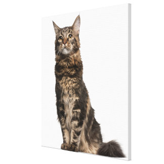 Maine Coon (8 months old) 2 Canvas Print