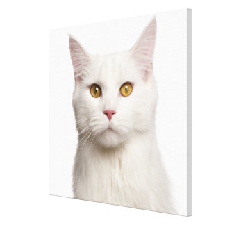 Maine Coon (8 months old) Stretched Canvas Print