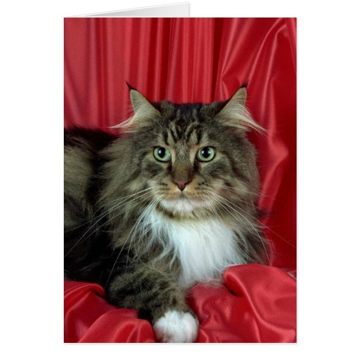 Maine Coon, brown tabby and white Greeting Card