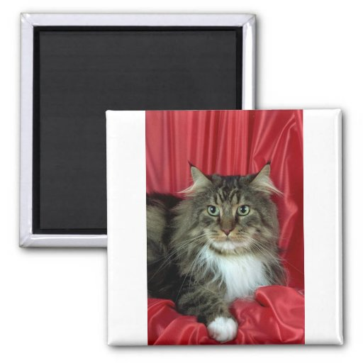 Maine Coon, brown tabby and white Magnet