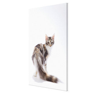 Maine Coon cat 2 Canvas Print